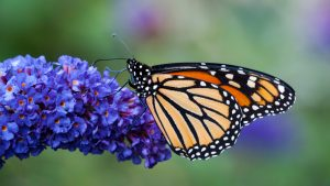 High Resolution Picture of Monarch Butterfly on Flower
