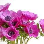 Alternative Roses Flower with Anemone Sylphide