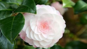 Flower That Looks Like A Rose with Soft Pink Camellia
