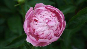 Top 10 - Flowers That Look Like Roses - #03 - Peony