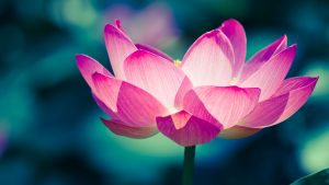 Close Up Pictures Of Lotus Flowers in 4K 3840x2160 Pixels for Wallpaper