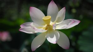 Pictures Of Lotus Flowers in Full Opened Petals