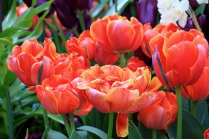 Top 10 Flowers That Look Like Roses - #08 - Double Tulip