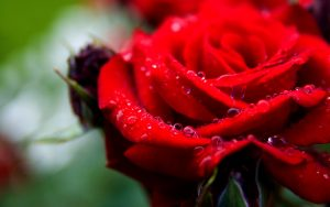 Top 25 Pictures Of Red Roses - #10 - with Water Droplet
