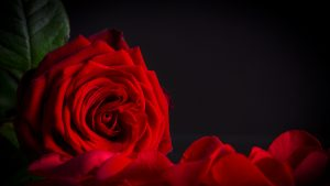 Top 25 Pictures Of Red Roses - #13 - with Black Background