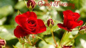 Top 25 Pictures Of Red Roses - #16 - for Morning Wallpaper