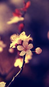 Close Up Photo of Cherry Blossoms for Smartphones Wallpaper