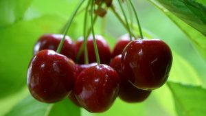 High Resolution Nature Photo of Fresh Red Cherries