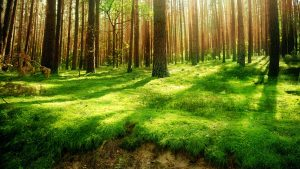 Forest HD Wallpaper with Green Grass