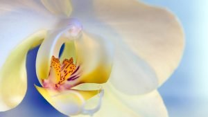 HD Flower Wallpapers 1080p with Macro Photo of White Orchid