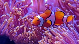 Beautiful Nature Wallpaper Big Size #22 - Clown Anemone Fish Picture in 4K