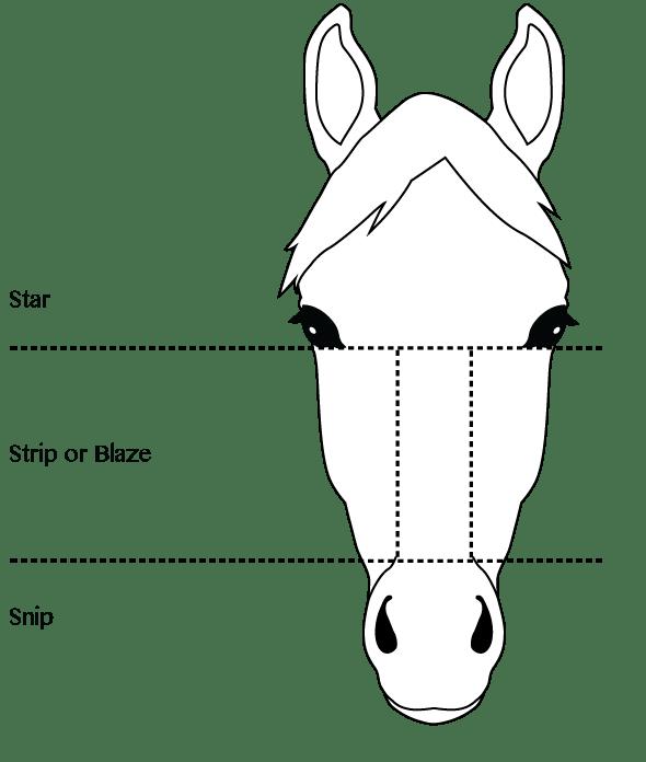Learn Horse Face & Leg Markings, Other Markings & Fun Quizzes