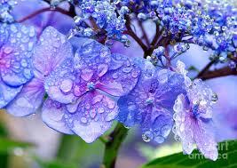 hydrangea dew