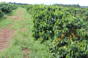 brazilian-coffee-plantations