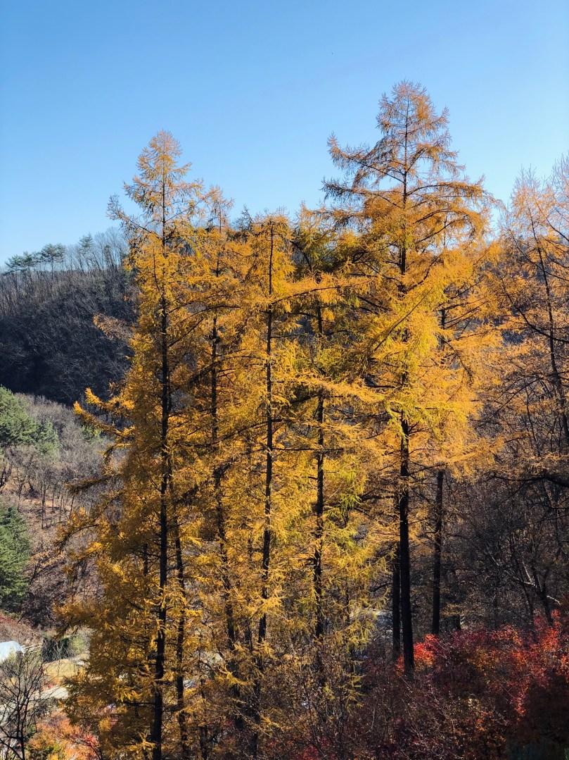 yellow trees at Healience