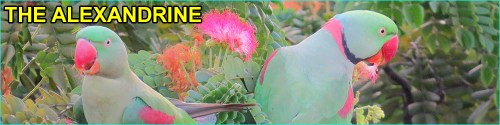 Alexandrine parakeet species with Alexandrine word