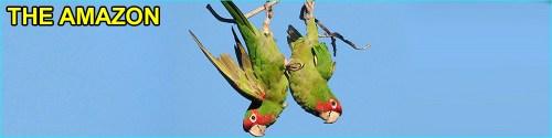 Amazon parrot with Amazon word