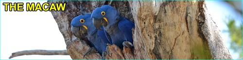 Macaw species