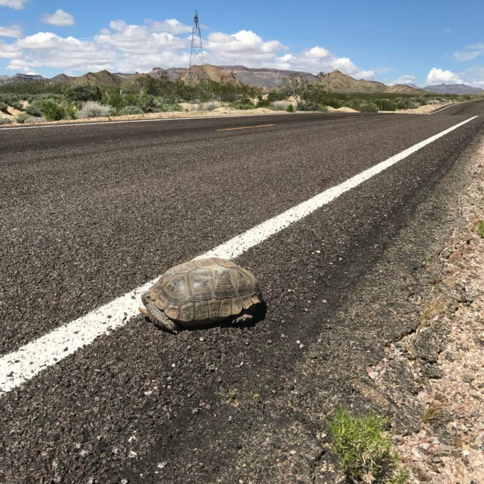 Desert Tortoise, Mojave National Preserve