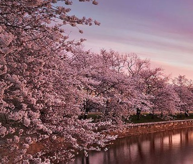 Japanese Cherry Blossoms Pictures
