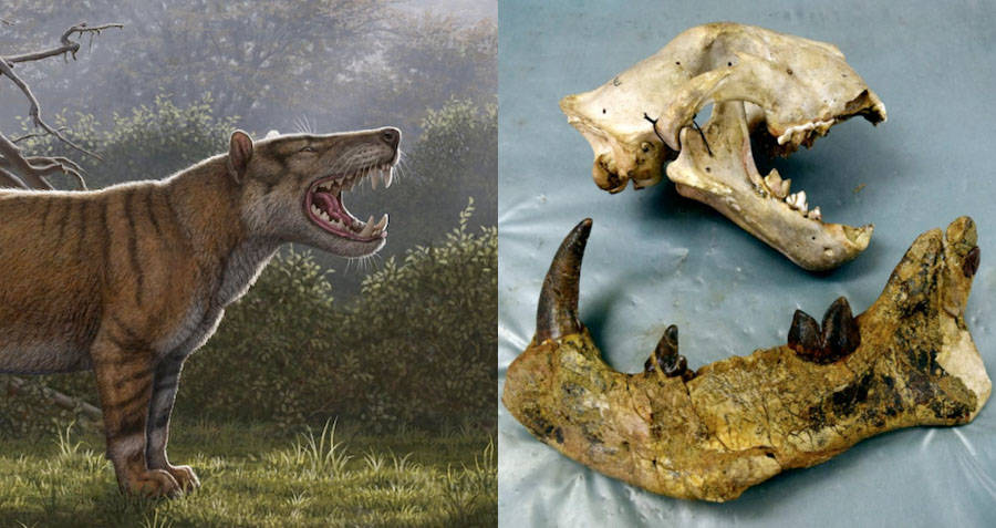 Scientists Discover Prehistoric Lion With Banana Sized Teeth