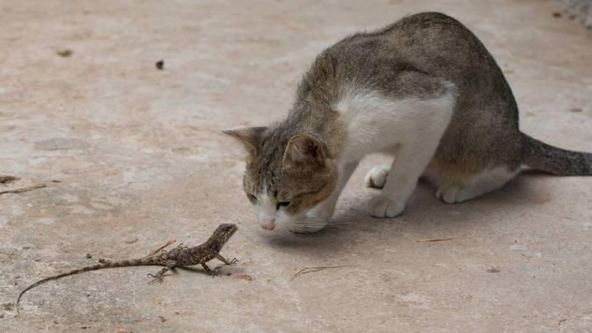 Cat Staring At Lizard