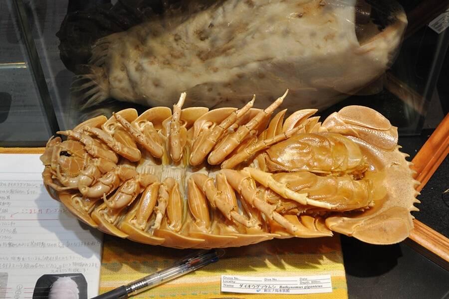 Underside Of Giant Isopod