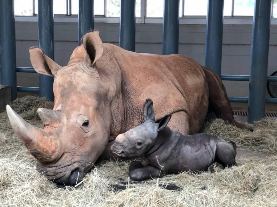 Kendi The White Rhino With Calf