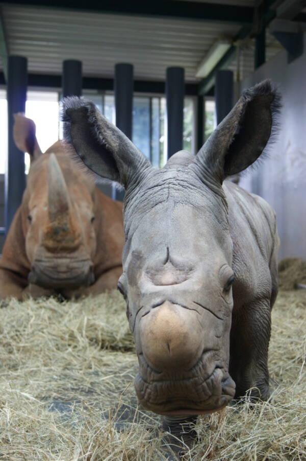 Walt Disney Rhino Calf And Mother