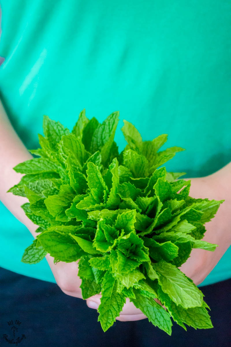 person holding a bunch of fresh peppermint