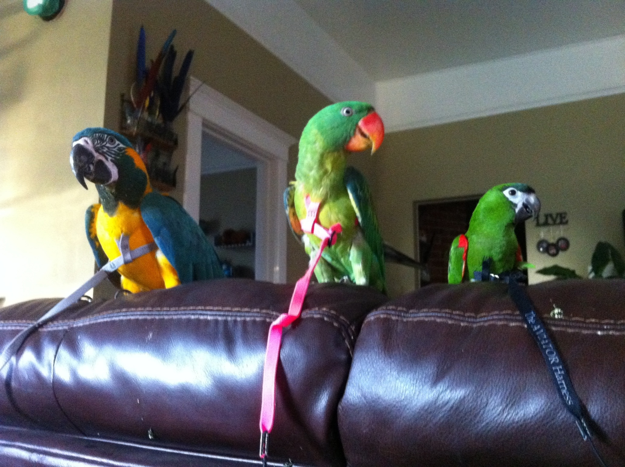The Aviator Harness From The Parrot University Parrot