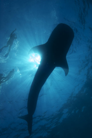 Swimming with Whale Sharks in Cancun: An Underwater Safari