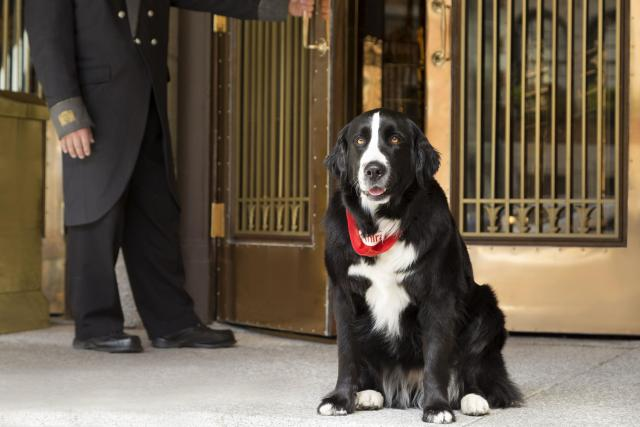 A large black and white dog sits in front of bronze doors