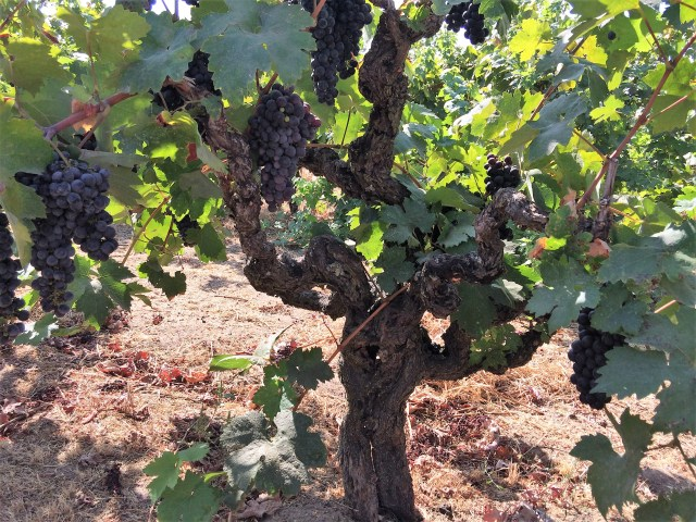A single, thick, gnarled grapevine with dense clusters of red grapes
