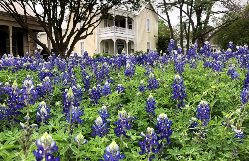A field of bluebonnet flowers with a tree and light-colored house in the background.
