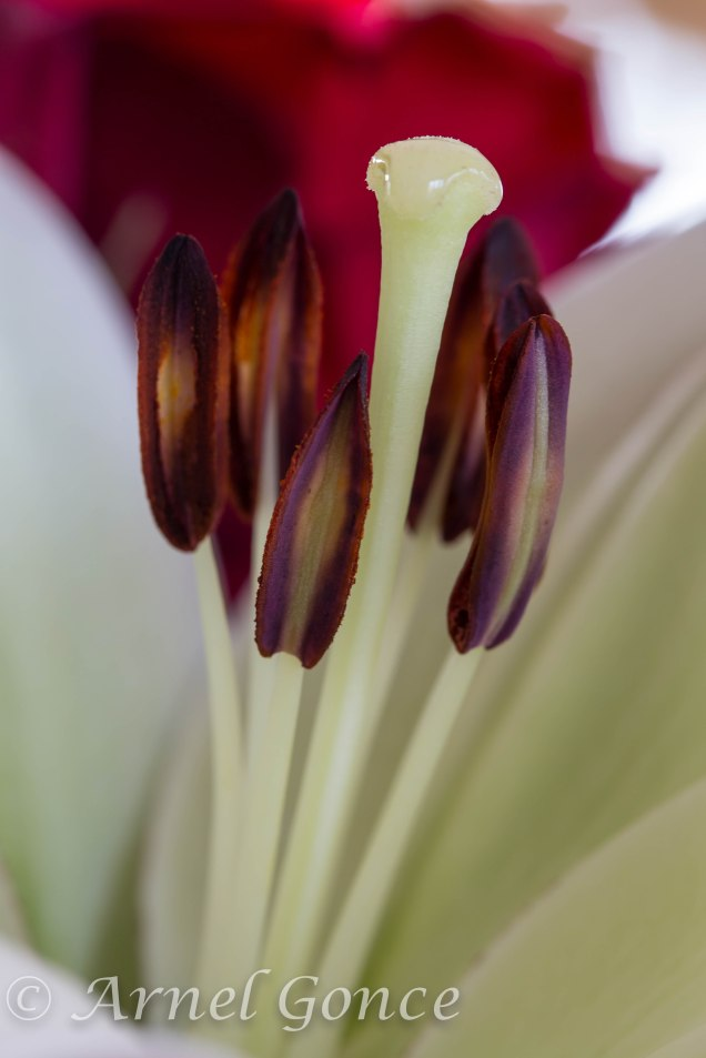 Stamen on a Day Lily