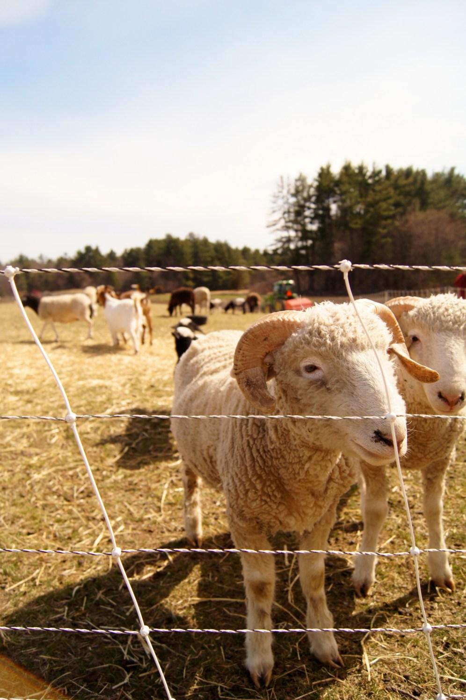 Sheep cuties