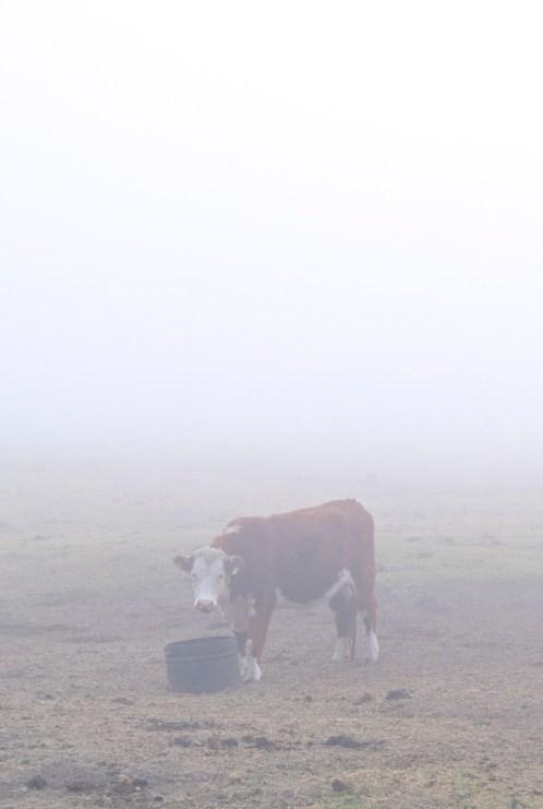 a suspicious cow in big sur