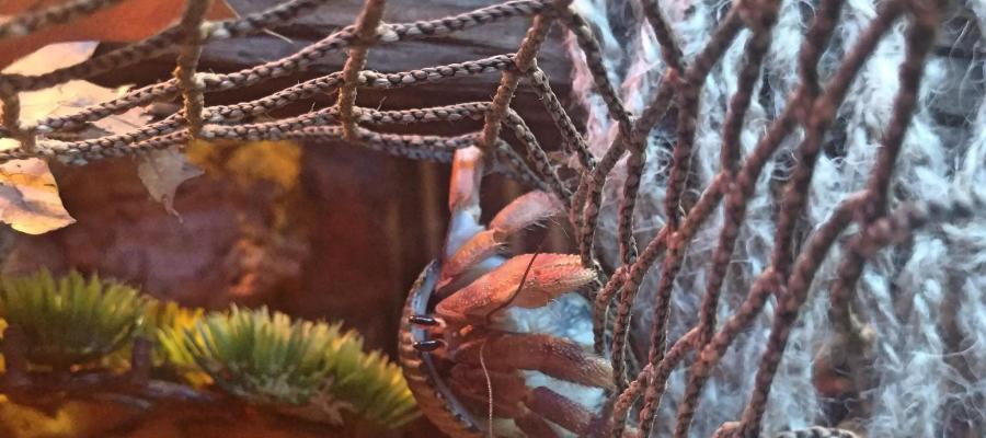 Coenobita compressus,Ecquadorian, E hermit crab