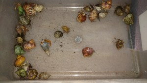 Small hermit crabs before going into their 50 gallon bin