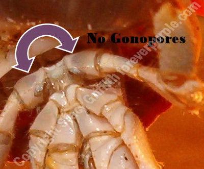 Male Hermit Crab Gonopores