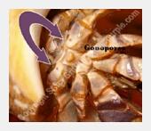 Gonopores