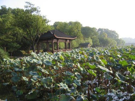 lotus flowers west lake