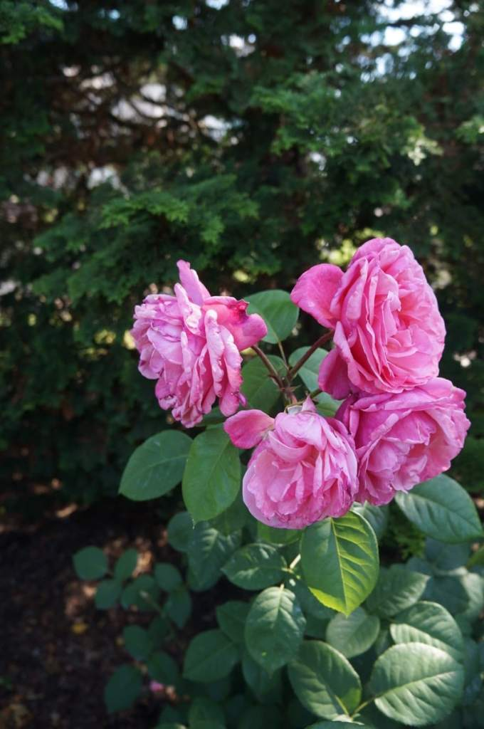 The Historic Hershey Rose Garden is where it all began.