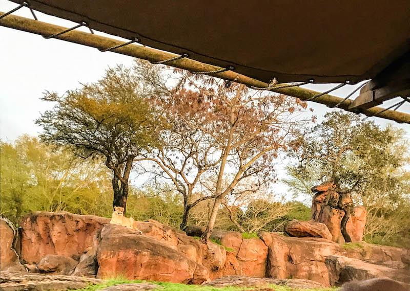 Beautiful lioness at Animal Kingdom