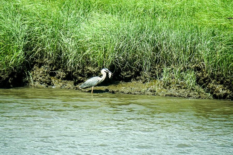 Great Blue Heron finds dinner at Bombay Hook Wildlife Refuge