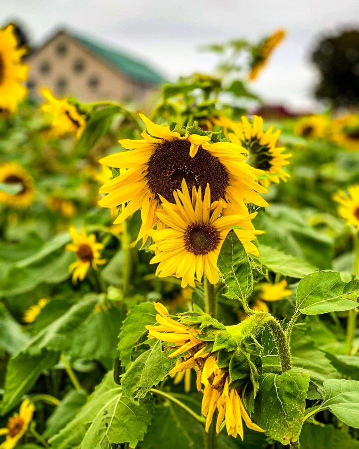 Fields of Adventure sunflowers