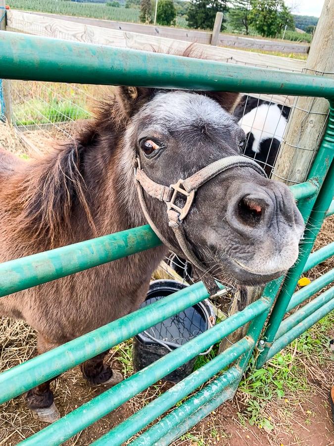 Fields of Adventure pony