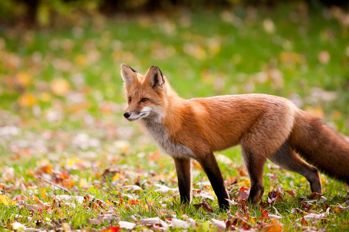 Colors Of Foxes Fox Colors And Morphs All Things Foxes