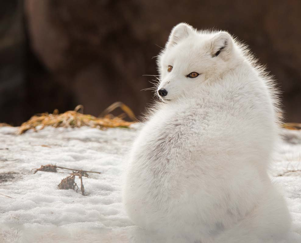Arctic Fox Adaptations | Habitat and Behavior - All Things ...